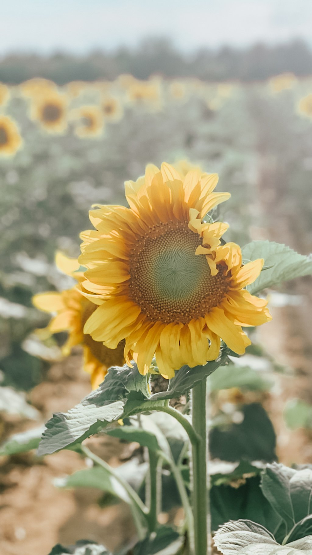 sunflower days
